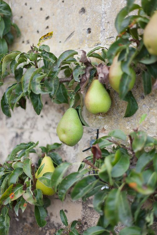 how to train espalier fruit trees