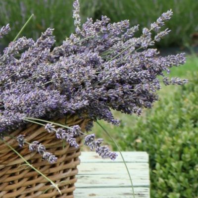 A Beautiful Lavender Garden In The Country